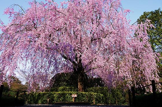 妙心寺 退蔵院 紅しだれ桜